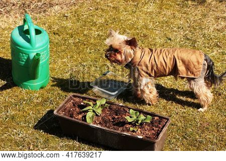 On A Green Lawn, There Is A Box With Planted Vegetables And A Watering Can With And Beautiful Dog.