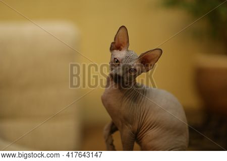 Portrait Of A Bald Cat. The Sphynx Cat Breed Is Hairless Animals Without Hair.