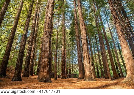 The Big Red Woods Forest In Te Mata Peak Of Hawke's Bay Region, New Zealand. This Grove Of 223 Stunn