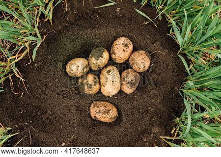 Top View Of A Fresh Potatoes Dug Out Of The Ground On A Farm. Harvesting Potatoes. Agriculture Conce