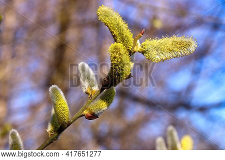 Tree Buds In Spring. Young Large Buds On Branches Against Blurred Background.