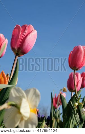 Close Up Of Beautiful Pink And Orange Tulips And Other Colorful Flowers With A Blue Sky In France