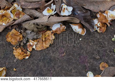 Autumn Scene With Copy Space Showing Decaying Camellias On Ground