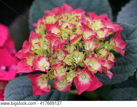 Close Up Of The Juvenile Pink And Yellow Hydrangea Flower