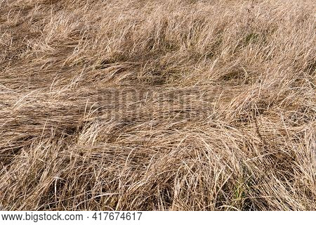 Long, Dry, Yellow Grass Dried In A Parched Swamp To Form A Beautiful Natural Texture