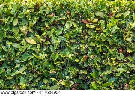 Neatly Trimmed Bushes In The Summer Or Autumn Park. Nature Background. Copy Space Background.