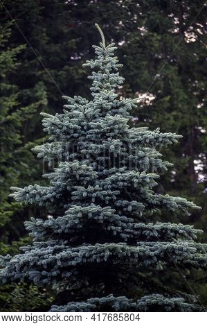 A Blue Spruce Tree (picea Pungens)