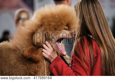 A Large Red-colored Royal Poodle Yawns With Its Mouth Wide Open. A Poodle Is Getting Ready For A Dog