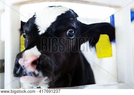 A Cute And Frightened Black And White Calf In A Calf Barn At A Dairy Farm. Calf Head Close-up. Milk