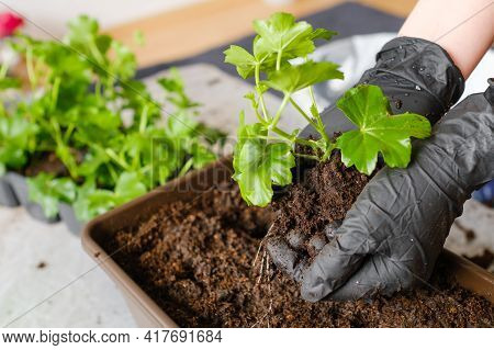 Woman Transplanting Pelargonium Or Plant Into The Bigger Pot. Planting Flowers At Home On The Balcon