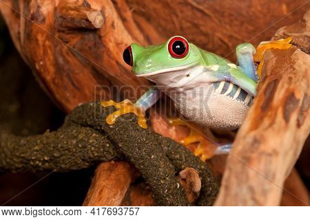 Red Eyed Tree Frog With Big Eyes Watching Environment