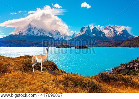 Picturesque lake Pehoe in the Patagonian Andes. Travel to Chile. Magnificent guanaco with thick reddish brown hair grazes on the shore. Huge lake with bright azure water