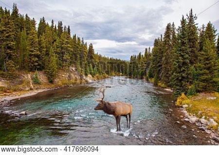 Autumn travel to Canada. Rocky Mountains of Canada. Cloudy day on a mountain lake. Magnificent branched deer came to a watering hole to a mountain stream