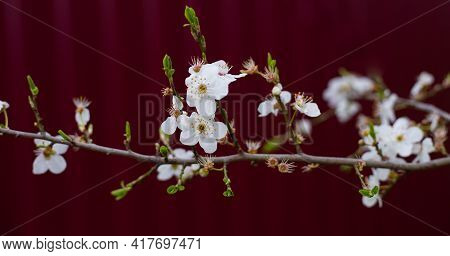 White Delicate Flowers And Young Leaves On A Branch Of A Fruit Tree On A Burgundy Background. Select