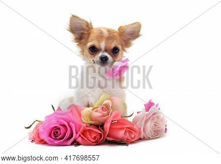 Portrait Of A Cute Purebred Puppy Chihuahua With Roses In Front Of White Background