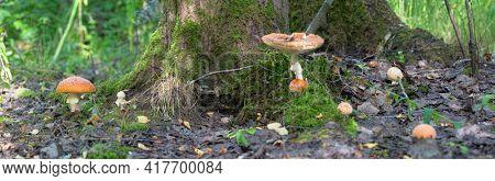 orange fly agarics group in old dark leaves