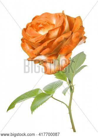 beautiful bright orange color rose isolated on white background