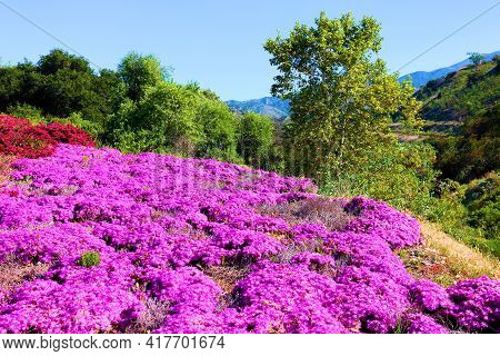Ice Plant Flower Blossoms Which Is A Succulent Plant On A Meadow Surrounded By Lush Deciduous Trees