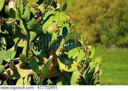 Prickley Pear Cacti Plants On An Arid Hillside Overlooking A Lush Field Surrounded By A Riparian Dec