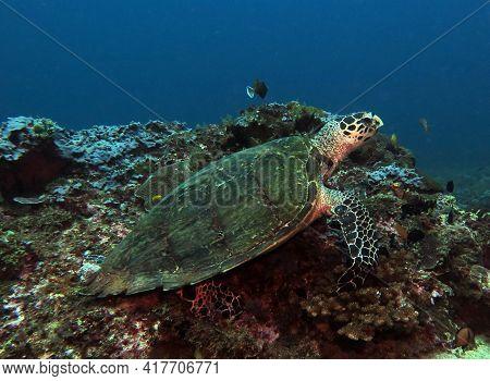 A Hawksbill Turtle On Hard Corals Boracay Island Philippines