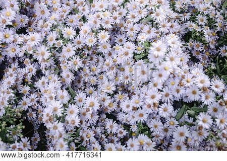 Close-up Of Aster Flowers Blooming Background, Beautiful Flower Spring In The Garden. Natural Of Flo