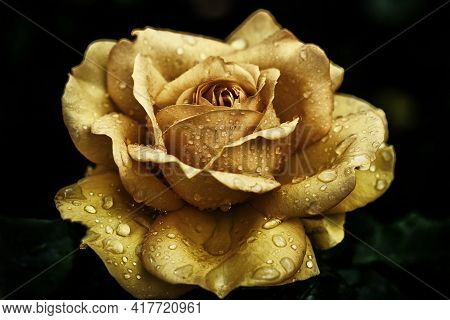 A Closeup Shot Of A Yellow Rose Covered With Dewdrops On A Blurred Background