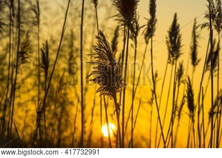Trees And Reed In Bright Orange Yellow Sunlight At Sunrise In Spring, Almere, Flevoland, The Netherl