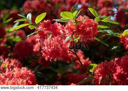 Closeup Of The Flowers Of The Pink Rhododendron In The Garden