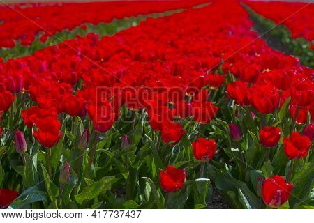 Colorful Tulips In An Agricultural Field In Sunlight Below A Blue Cloudy Sky In Spring, Almere, Flev