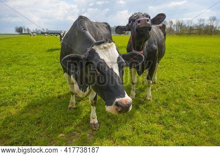 Herd Of Cows In A Green Grassy Pasture Below A Blue Cloudy Sky In Sunlight In Spring, Almere, Flevol