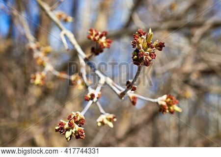 The Budding Buds And Catkins Of The American Maple Against The Blue Sky. Spring Background. Close-up