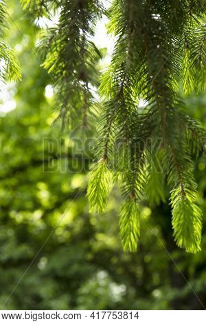 Soft Focus Image Of Branch Of Spruce With Young Shoots Tree In Spring Forest
