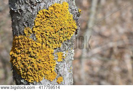 Common Orange Lichen Xanthoria Parietina On The Bark Of Tree Trunk In The Forest.yellow Scale,mariti