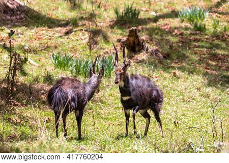 Two Endemic Animals Menelik Bushbuck Prepare For Fight In Natural Habitat, Tragelaphus Scriptus Mene
