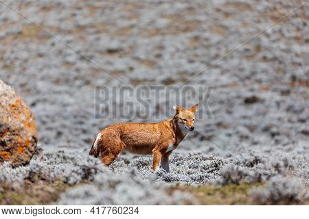 Very Rare Endemic Ethiopian Wolf, Canis Simensis, Sanetti Plateau In Bale Mountains, Wolf Hunting Bi