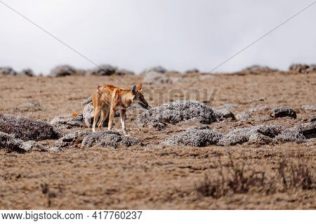 Very Rare Endemic Ethiopian Wolf, Canis Simensis, Sanetti Plateau In Bale Mountains, Wolf With Hunte