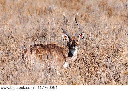 Majestic Male Of Endemic Very Rare Mountain Nyala, Tragelaphus Buxtoni, Big Antelope In Natural Habi