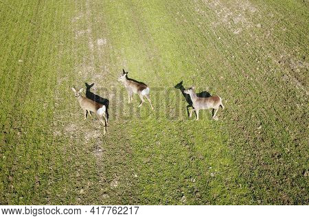 View From Above Of A Flock Of Roe Deer With Shadows