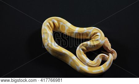 Photo Of Small Albino Royal Phyton On Dark Texture