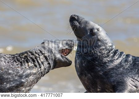 Love Bite. Wild Seals Play Fighting. Animal Attacking The Throat Or Giving A Hickey Perhaps. Friendl