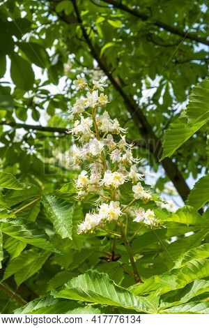 White Horse Chestnut Flower In Bloom Against The Lush Green Foliage Of The Tree. Close-up