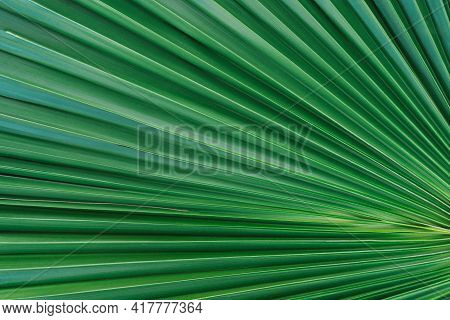 Nature Background Of Palm Leaves. Palm Tree Leaves Nature Background.