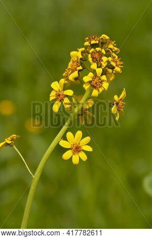 Daurian Goldenrod, Solidago Dahurica, Bright Yellow Inflorescence