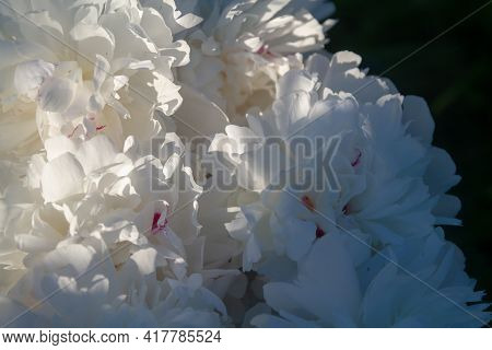 White Peony Petals Close-up. Floral Background Of Beautiful Delicate Petals.