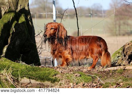 Beautiful Small Red Longhaired Dachshound Is Standing In The Garden
