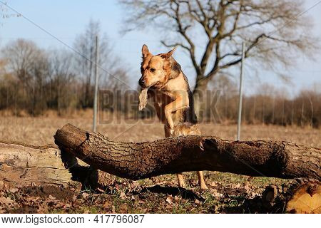 Large Mixed Shepherd Dog Is Jumping Over A Large Tree Trunk In The Forest