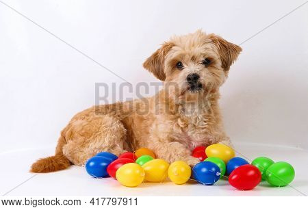 Small Brown Mixed Dog Is Lying In The White Studio With Colorful Easter Eggs In The Front