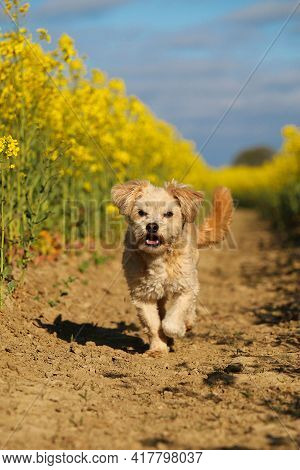 Small Brown Mixed Dog Is Running In A Rape Seed Field