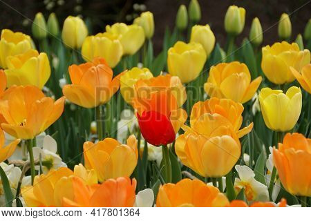 Beautiful Orange And Yellow Color Of Darwin Hybrid Tulip 'daydream' Flowers At Full Bloom