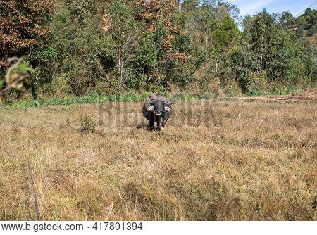 A Black And Brown Buffalo Standing Alonw I A Dry Grass Field Between Kalaw And Inle Lake, Myanmar